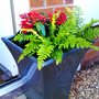 Pots outside front door. (Skimmia japonica (Skimmia))