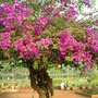 even more bougainvilleas