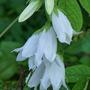 Campanula alliarifolia (Ivory Bells) (Campanula alliariifolia (Ivory bells))