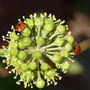 Ivy flower and Ladybirds (Hedera helix (English ivy))