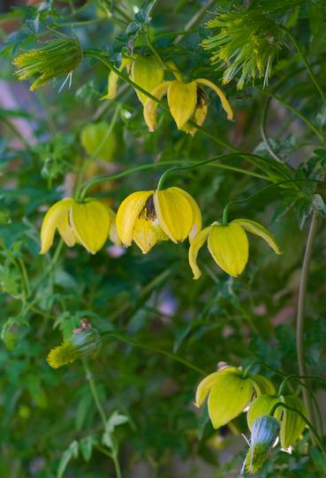 Clematis tangutica (Clematis tangutica (Clematis))