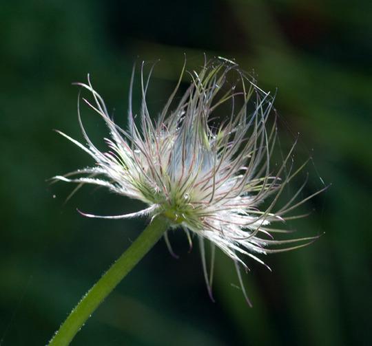 tangutica seedhead CROP (Clematis tangutica (Clematis))