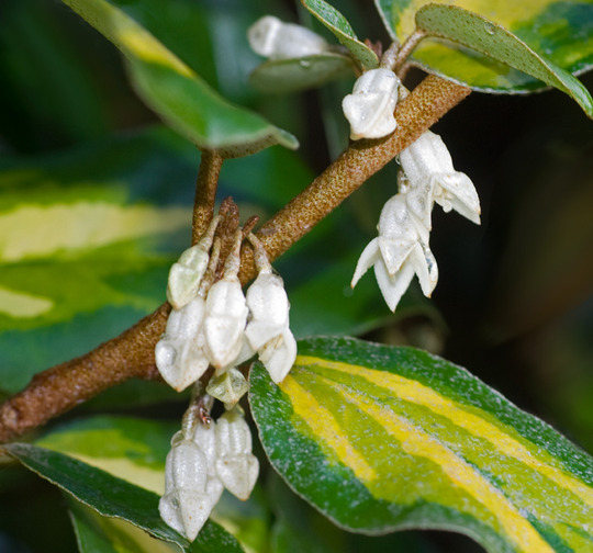 Elaeagnus flowerspsd (Elaeagnus x ebbingei (Elaeagnus))