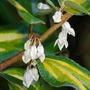 Elaeagnus_flowerspsd