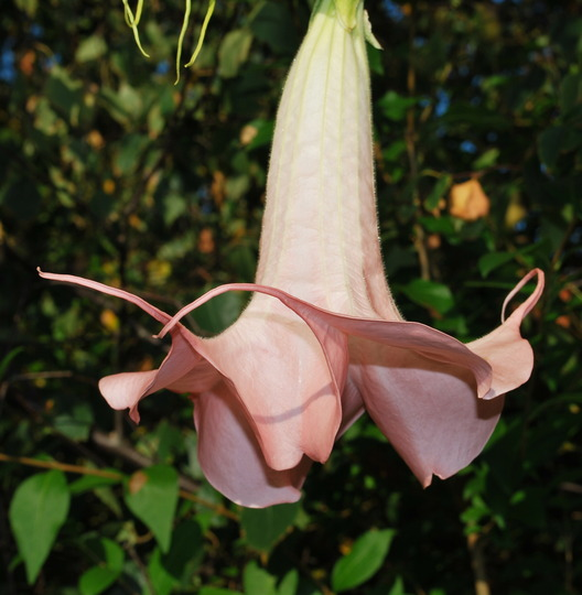 Brugmansia flowering again... (Brugmansia suaveolens (Maikoa))