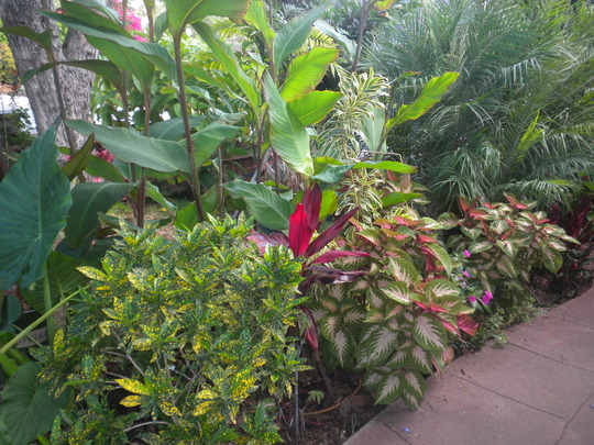 The Front Yard: Croton, Canna, Ti Leaf Plant, Coleus, Dracaenas 'Song of India, Pygmy Date Palms (Croton, Ti Leaf Plant, Coleus, Dracaenas 'Song of India, Pygmy Date Palm)