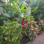 The Front Yard: Croton, Canna, Ti Leaf Plant, Coleus, Dracaenas &#x27;Song of India, Pygmy Date Palms (Croton, Ti Leaf Plant, Coleus, Dracaenas &#x27;Song of India, Pygmy Date Palm)