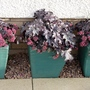 Heuchera 'Blackberry Jam' with Sedum 'Bertram Anderson' in pots