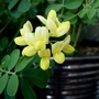 Coronilla Valentina Glauca Citrina...just flowering now.. (Coronilla valentina (Coronille))