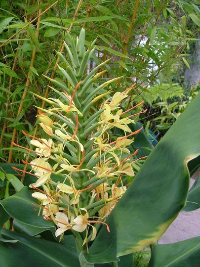 Hedychium gardnarianum (Hedychium gardnarianum)