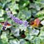 Hummingbird Hawkmoth