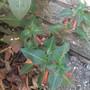 Fags Plant (Cuphea Ignea)