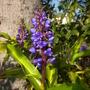 Dichorisandra thyrsiflora - Blue Ginger (Dichorisandra thyrsiflora - Blue Ginger)