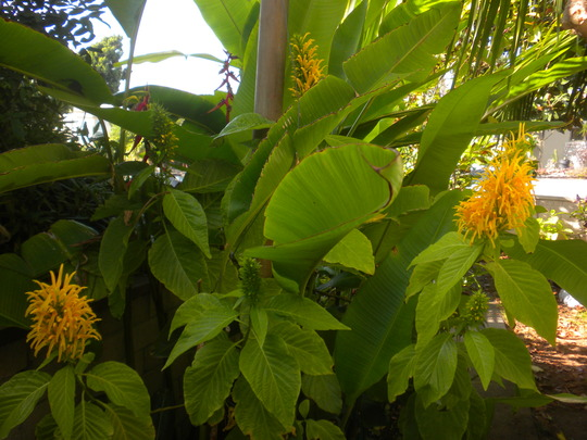 Justicia aurea - Yellow Jacobinia, Heliconia scheideana - Claw Flower  (Justicia aurea - Yellow Jacobinia, Heliconia scheideana - Claw Flower)