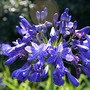 Agapanthus_b_lue_imp_close