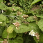 Thornlessblackberryvistabilefruitgarden13.06.08