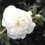 White peony (Paeonia ' Duchess de Nemours')