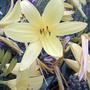 Yellow daylilies (Hemerocallis)