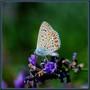 Azur_commun_polyommatus_icarus_