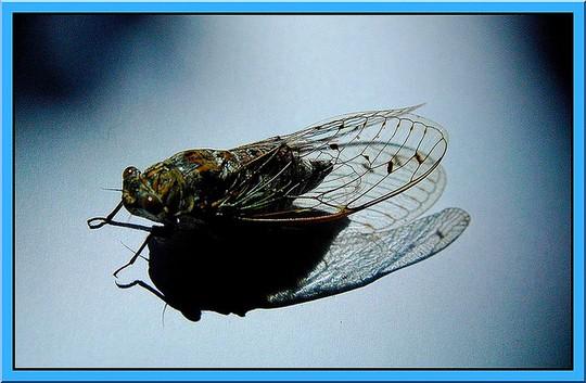 Cigale ( Cicada )