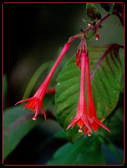 Fleur de fuschia flower