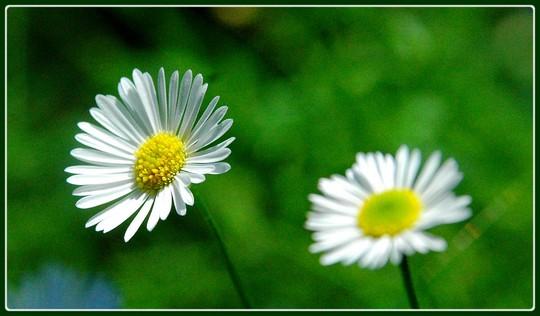 Easter daisy - Pâquerette