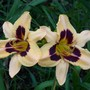 Daylily cross: 'Wild Horses' X 'Heavy Metal'