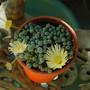 Lithops_en_fleur_fenestraria_aurantiaca_