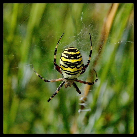 Epeire fasciée or Argiope rayée