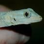 Baby gecko