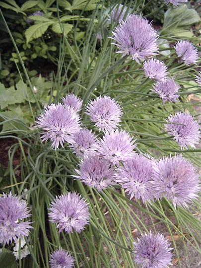 Flowering chives (Allium schoenoprasum (Chives))