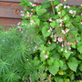 Amsonia & Hardy Begonias