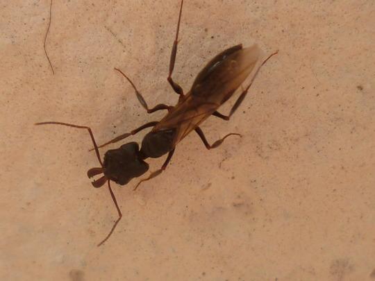 Big flying ant