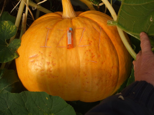 Izzys' pumpkin growing well...