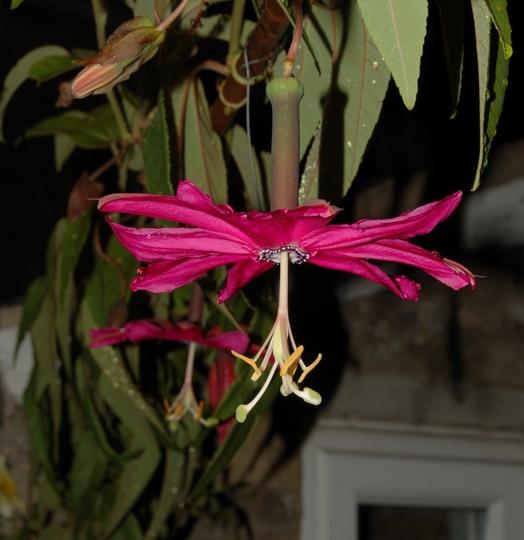 Passiflora antioquensis (Passiflora antioquensis)