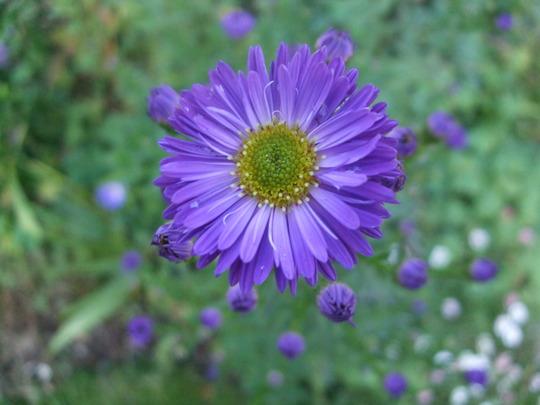 Aster novae-angliae 'Violetta' (Aster novae-angliae)