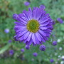 Aster_novae_angliae_violetta_
