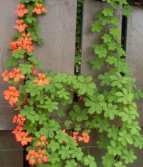 Still some flowers on the Tropaeolum Speciosum
