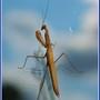 Praying mantis - Mante religieuse
