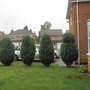 Conifer trees