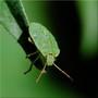 Green bug - Punaise verte