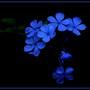 Rêve en bleu - Blue dream...( Plumbago)
