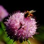 Bee take pains and work hard to harvesting pollen