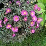Aster_deep_pink_aster_unknown