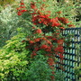 Pyracantha berries..... (Pyracantha angustifolia (Fire Thorn) red .)