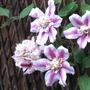 Clematis_josephine_side_garden