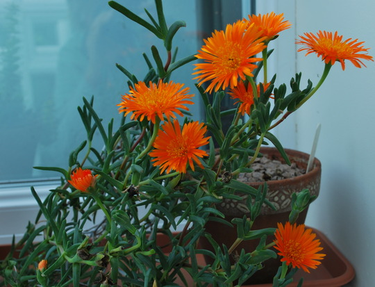 Succulent flowering inside.... (Lampranthus spectabilis (Trailing Ice Plant))