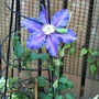 Clematis_the_vagabond_october_2011
