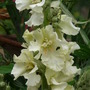 Verbascum - Snow Maiden close-up (Verbascum)