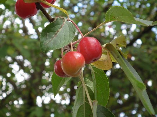 Cherries ?